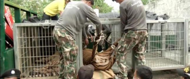 Her fjernes tigrene fra buddhisttempelet
