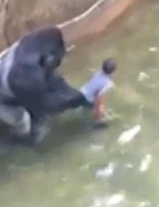 Debatten raser etter at Harambe ble skutt: I 1996 reddet gorilla gutt (3)