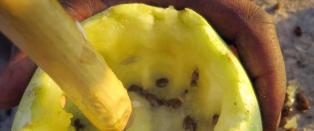 Der en vannmelon ikke bare er en vannmelon, men et sp�rsm�l om liv og d�d