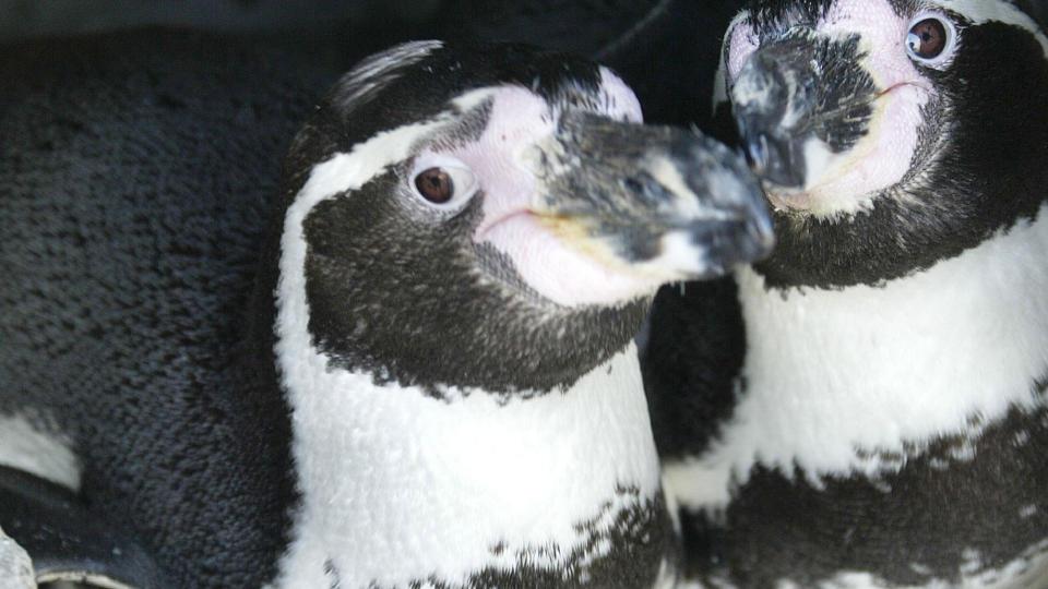 Er nok kun kjønns forvirrede disse rare pingvinene. thumbnail