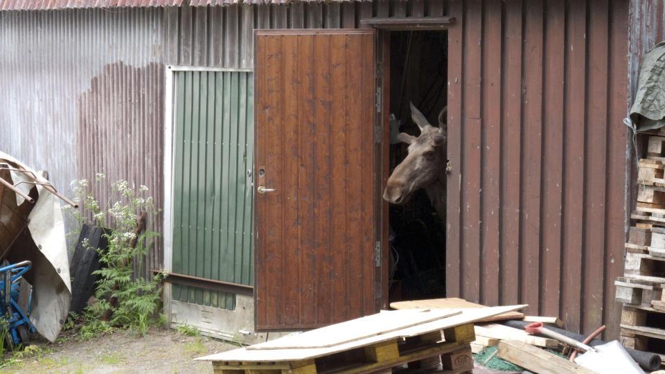 En elg vi kan like, riktig en kreativ friskus dette. thumbnail