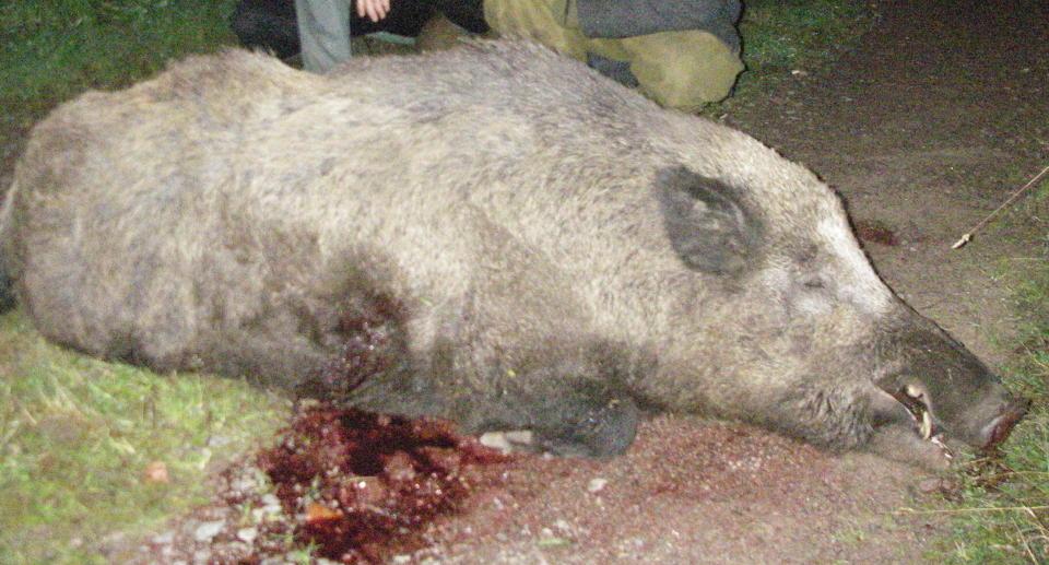 Trist at dette vakre og store villsvin måtte late livet fordi norske jegere. thumbnail