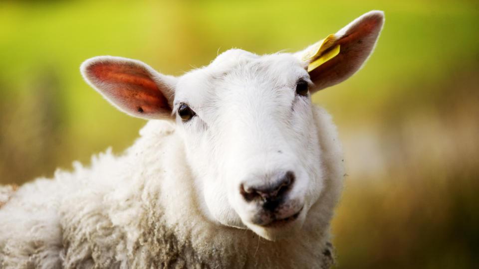 V�T: Regn og d�rlig v�r har f�rt til d�rligere beiteforhold og v�t ull p� lammene. Foto: Kyrre Lien / SCANPIX