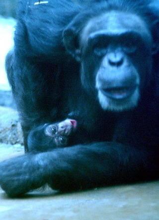 MOR OG S�NN: I 2003 ble s�nnen Julius jr. f�dt. Her passer mamma Bini godt p� den nyf�dte. Foto: Kristiansand dyrepark