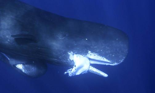 Info om denne havets elefant: Spermhvaler! thumbnail