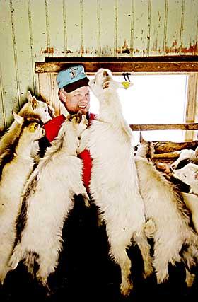 Nysgjerrige: Geitebonden på Stunde, Einar Ellseth, er omsvermet i fjøset. - Geitene er nysgjerrige og sosiale dyr firteller han.
