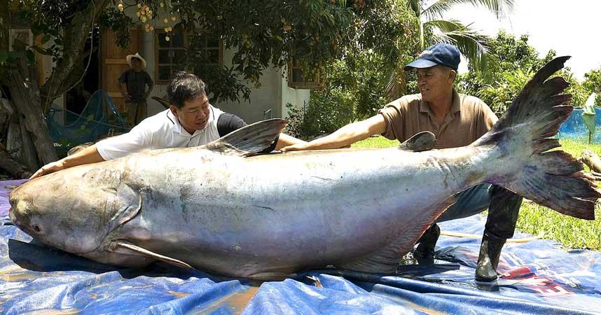 239 килограмм.  Как пишут, рыба уже съедена.