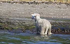 TRYGT PÅ LAND: Heldigvis overlevde de fleste av sauene.