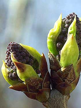 GA NAVN TIL LILLA: Syrin het lilak på persisk. Det ble til lilla. Goethe karakteriserer lilla som «livlig, men ikke lystig».