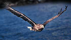 STOR FUGL: Med liten b�reevne, skal vi tro ornitolog Alv Ottar Folkestad. - Hav�rnen b�rer maks 3,2 kilo, mener Norges fremste ekspert p� hav�rn.
