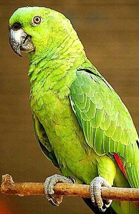 SLIPPES FRI? Det kan bli forbudt å ha kanarifugler og papegøyer i bur.