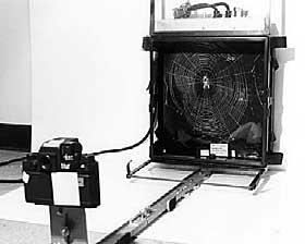 SPINDELVEV I ROMMET: Edderkoppene Arabella og Anita laget romspindelvev i 1973. Etter oppskyting ble edderkoppene sluppet l�s i en boks som lignet en vinduskarm. Det viste seg etterp� at spindelvevet ble spunnet tettere en vanlig.