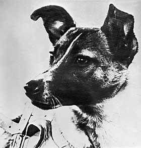 UKJENT RASE: Laika var en blandingshund funnet p� gata i Moskva. Den fikk navnet Laika fordi den ikke var ulik hunder av samlerasen med samme navn.