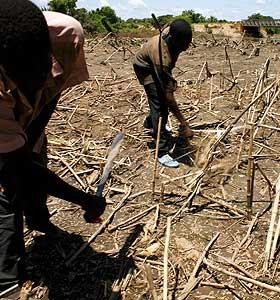 FATTIGE RAMMES HARDEST: Mais�kren til disse ganesiske b�dnene ble �delagt av flom tidligere i �r.