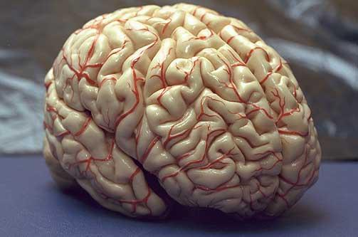 fakta om hjernen