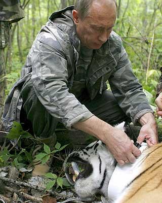 HJELPSOM: Etter å bedøvet tigeren og reddet en gjeng journalister, skal Putin angivelig ha festet et GPS-bånd rundt halsen på villdyret.