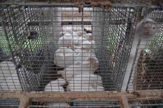 BES�KT 100 PELSFARMER: Organisasjonen har etter eget utsagn bes�kt over 100 pelsfarmer.